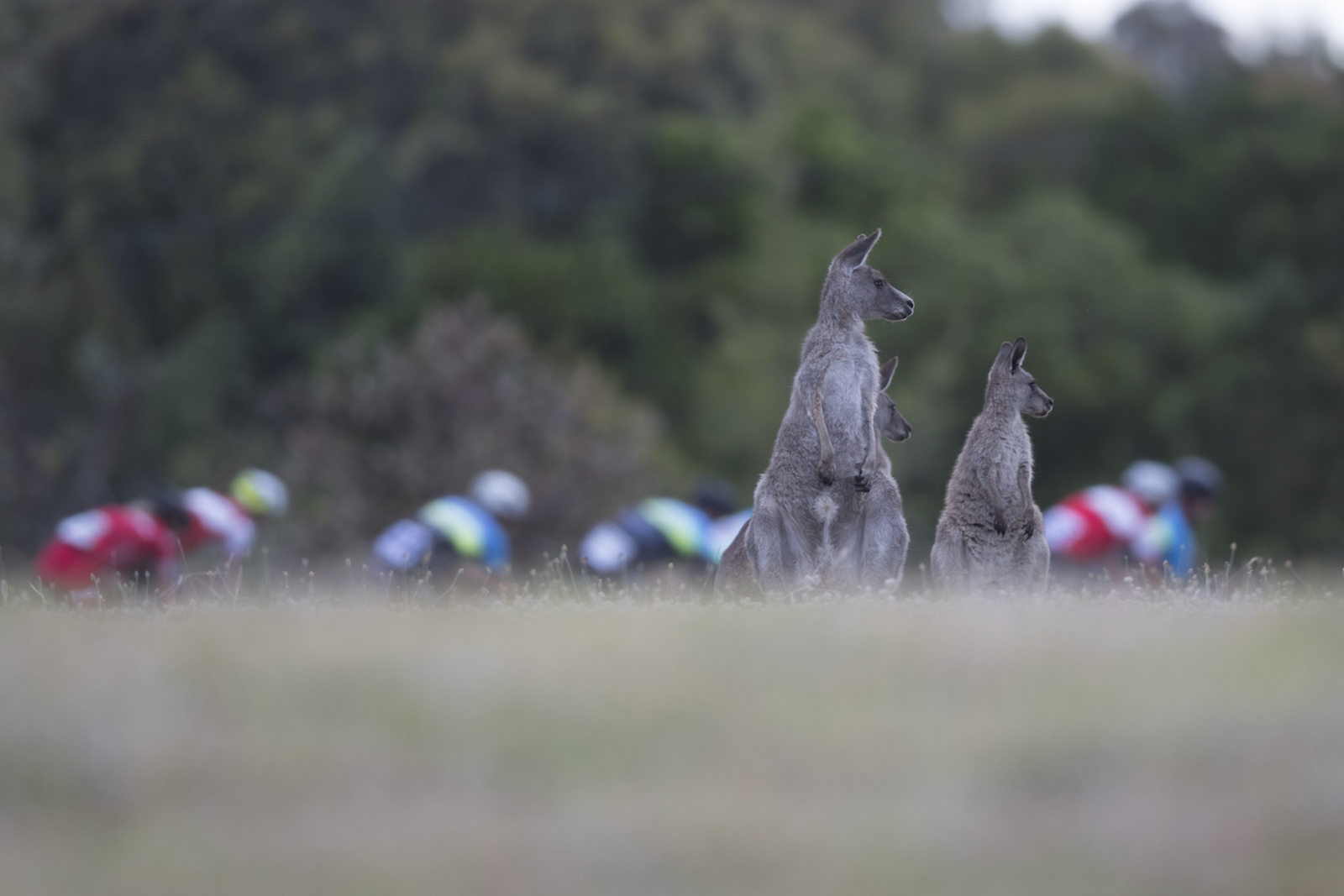 """Adrian Marshall, Australia. """"Kangaroos can be a regular feature in Canberra, Australia, especially at dusk. These three are keeping their eye on a criterium race at Stromlo Forest Park."""" DSLR. @adrian_capstone"""